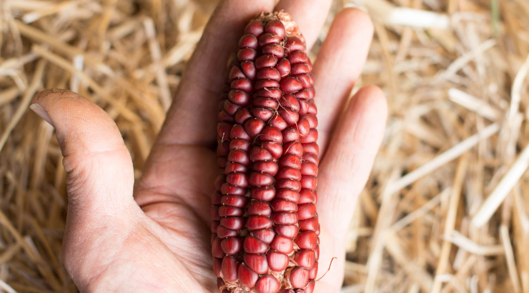 Heirloom maize/corn/mealie