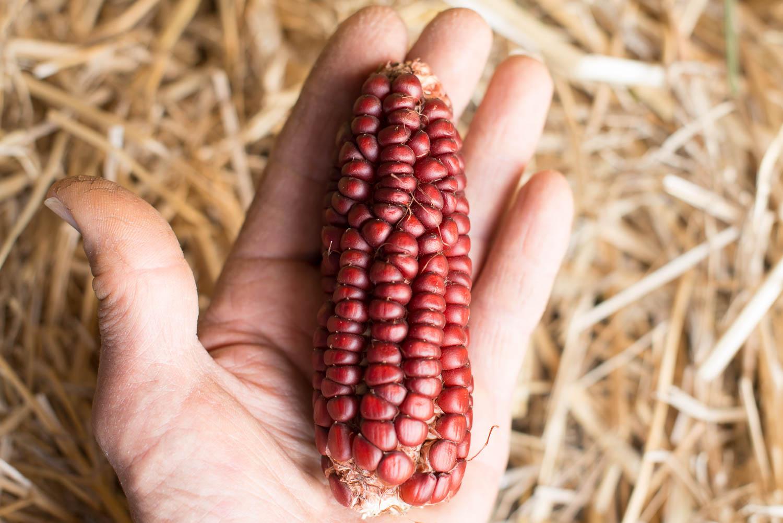 Heirloom maize/corn/mealie