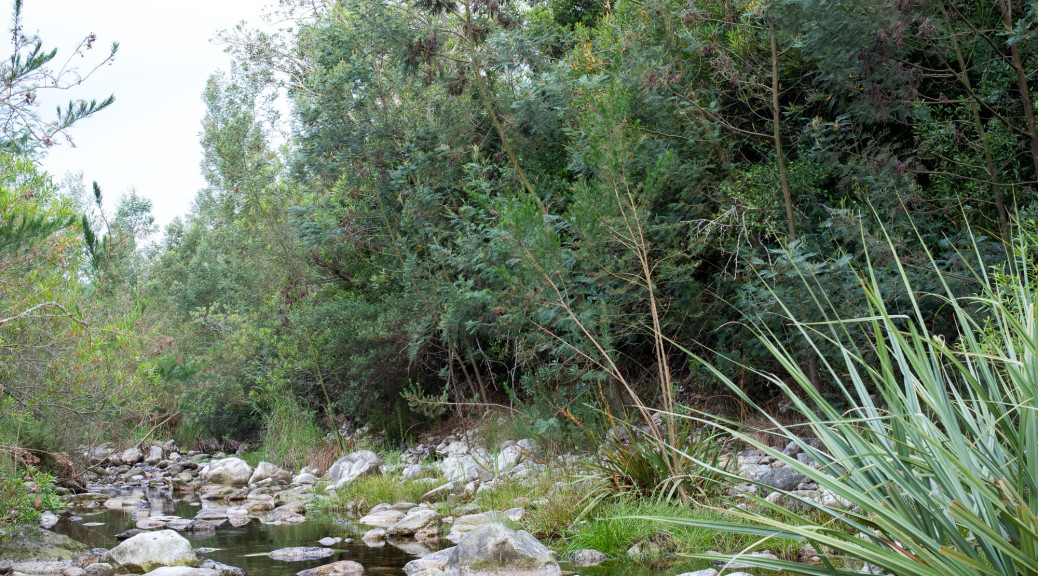 Black wattle, Caledon River, Suurbraak