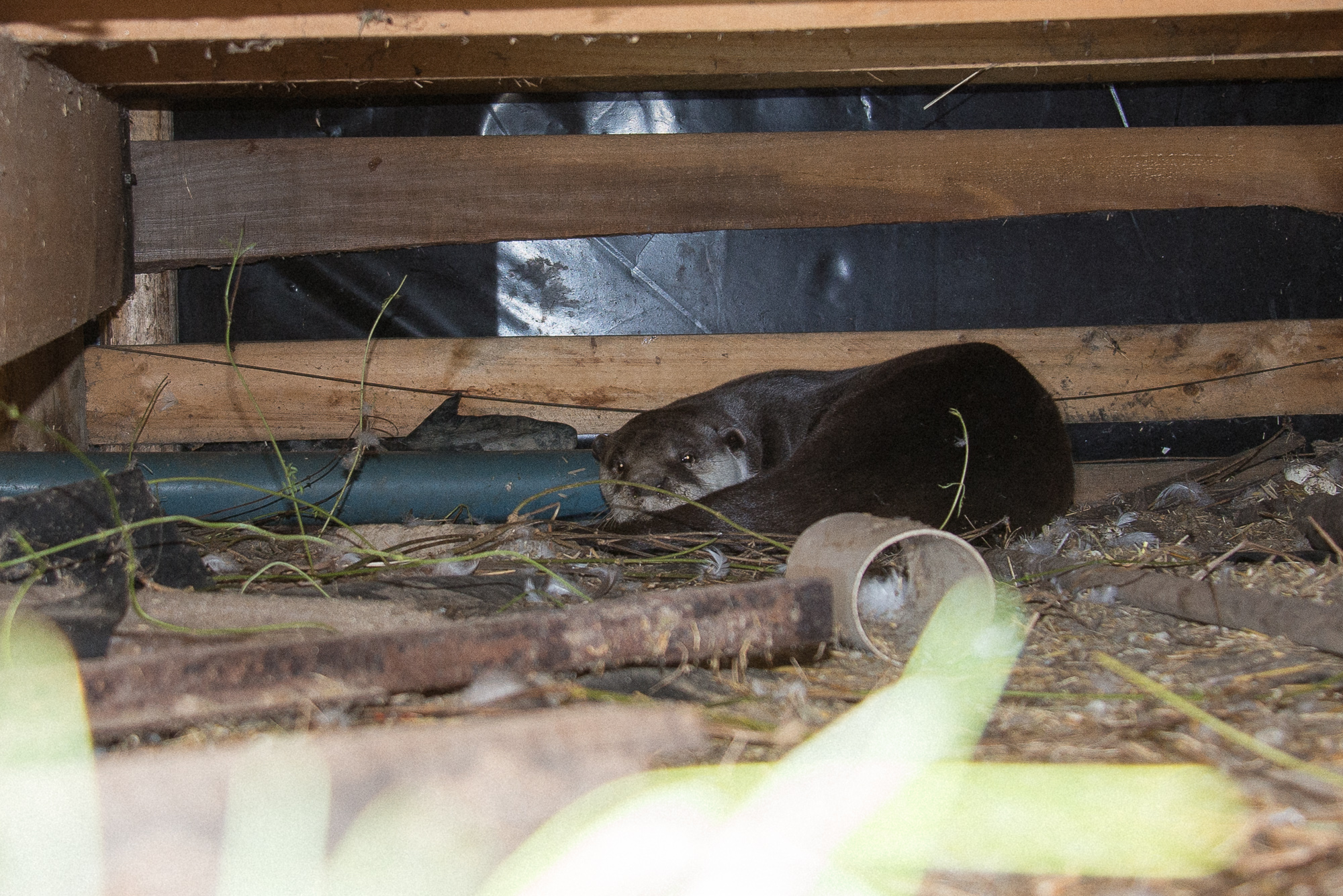 Otter that killed ducks and chickens on a neighbouring farm